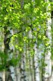 Árboles de abedul con las hojas verdes Imagen de archivo libre de regalías