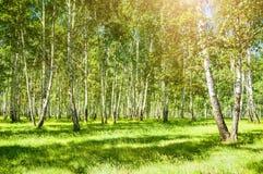 Árboles de abedul con las hojas verdes Foto de archivo libre de regalías