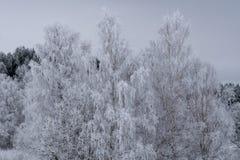 Árboles de abedul con las ramas cubiertas con helada Fotos de archivo libres de regalías