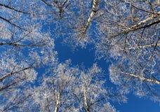 Árboles de abedul congelados contra el cielo azul Imagen de archivo libre de regalías