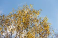Árboles de abedul contra el cielo Fotografía de archivo libre de regalías