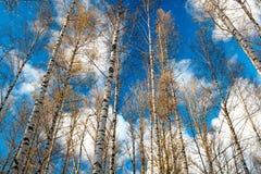 Árboles de abedul contra el cielo azul. Fotografía de archivo