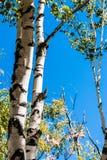 Árboles de abedul contra el cielo azul claro Imagen de archivo libre de regalías