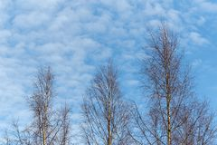 Árboles de abedul contra el cielo hermoso Imagenes de archivo