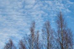 Árboles de abedul contra el cielo y las nubes de la puesta del sol Imagenes de archivo