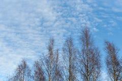 Árboles de abedul contra el cielo y las nubes de la puesta del sol Imágenes de archivo libres de regalías