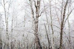Árboles de abedul cubiertos con escarcha Fotografía de archivo