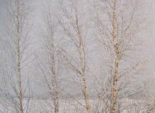 Árboles de abedul cubiertos con helada gruesa Foto de archivo