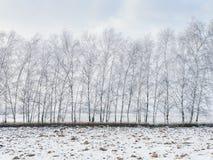 Árboles de abedul cubiertos con nieve Foto de archivo