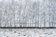 Árboles de abedul cubiertos con nieve Foto de archivo libre de regalías