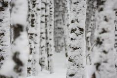 Árboles de abedul cubiertos en nieve Foto de archivo