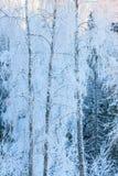 Árboles de abedul cubiertos en nieve de helada Fotografía de archivo