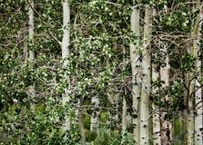 Árboles de abedul de California septentrional Imágenes de archivo libres de regalías