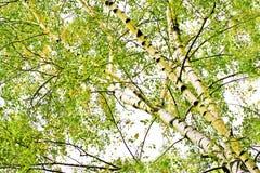 Árboles de abedul de hojas caducas. Fotografía de archivo libre de regalías
