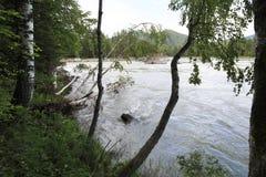 Árboles de abedul de inclinación en el río Katun de la montaña Fotografía de archivo