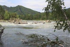 Árboles de abedul de inclinación en el río Katun de la montaña Imagenes de archivo