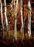Árboles de abedul de la caída Fotografía de archivo