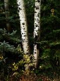 Árboles de abedul de la caída con Autumn Leaves en fondo Imágenes de archivo libres de regalías