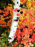 Árboles de abedul de la caída con Autumn Leaves en fondo Fotos de archivo