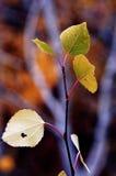Árboles de abedul de la caída con Autumn Leaves en fondo Fotografía de archivo libre de regalías
