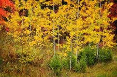 Árboles de abedul de la caída con las hojas de oro Imagenes de archivo