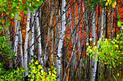 Árboles de abedul de la caída con las hojas de oro Fotos de archivo