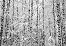 Árboles de abedul de la nieve blancos y negros Imagenes de archivo