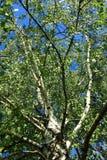 Árboles de abedul de la primavera Fotos de archivo libres de regalías