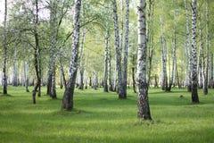 Árboles de abedul de la primavera en el bosque, arboleda hermosa del abedul, abedul-madera Fotos de archivo libres de regalías