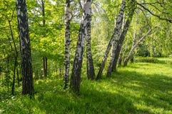 Árboles de abedul de la primavera en el parque Fotografía de archivo libre de regalías