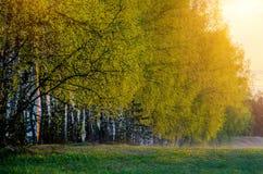 Árboles de abedul de la primavera en la salida del sol Fotos de archivo