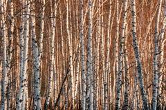Árboles de abedul de la primavera en luz del sol Imágenes de archivo libres de regalías