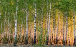Árboles de abedul de la primavera en luz del sol Imagen de archivo libre de regalías