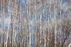 Árboles de abedul de los troncos del otoño Foto de archivo