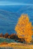 Árboles de abedul de oro en montaña brumosa del otoño Fotografía de archivo