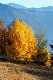 Árboles de abedul de oro en montaña del otoño Fotografía de archivo
