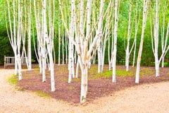 Árboles de abedul de plata Fotografía de archivo