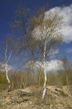 Árboles de abedul de plata Imagenes de archivo