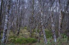 Árboles de abedul de plata cubiertos en liquen Foto de archivo libre de regalías