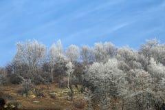 Árboles de abedul de plata el mañana del invierno adentro Fotografía de archivo