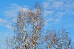 Árboles de abedul de plata en el invierno Betula Pendula Imagen de archivo