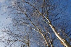 Árboles de abedul de plata en invierno Fotos de archivo libres de regalías