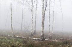 Árboles de abedul de plata en la niebla Fotos de archivo libres de regalías