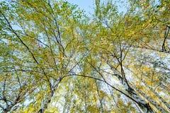 Árboles de abedul de Siver Fotos de archivo