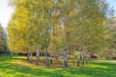 Árboles de abedul de Siver Foto de archivo