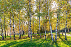 Árboles de abedul de Siver Foto de archivo libre de regalías