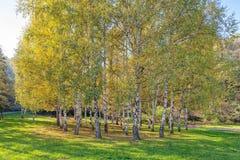 Árboles de abedul de Siver Fotos de archivo libres de regalías