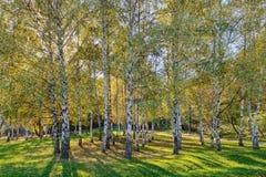 Árboles de abedul de Siver Fotografía de archivo
