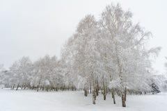 Árboles de abedul debajo de la nieve Fotos de archivo