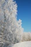 Árboles de abedul debajo de la nieve Fotos de archivo libres de regalías